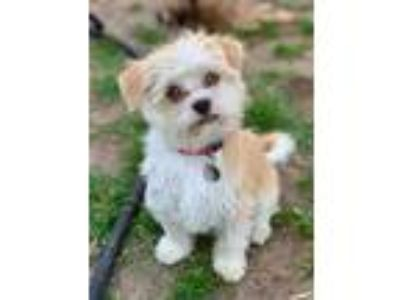 Adopt Milo a Tan/Yellow/Fawn - with White Shih Tzu / Terrier (Unknown Type