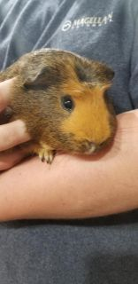 Guinea pigs (2 males 10 months old)