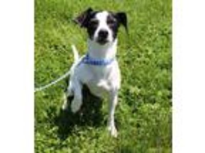 Adopt Dawn a Toy Fox Terrier / Mixed dog in Lancaster, OH (25332946)