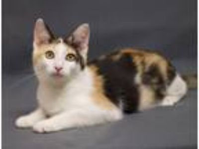 Adopt Bailey a Calico or Dilute Calico Domestic Shorthair (short coat) cat in