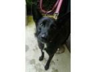 Adopt Gwyneth a Black Shepherd (Unknown Type) / Retriever (Unknown Type) / Mixed
