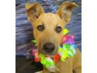 Adopt Lucy a Tan/Yellow/Fawn Shepherd (Unknown Type) / Mixed dog in Madera