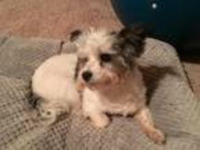 Adopt Patches a White - with Black Shih Tzu dog in Fortson, GA (25919335)