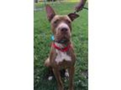 Adopt ASTRO a Red/Golden/Orange/Chestnut Great Dane / Shar Pei / Mixed dog in