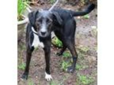 Adopt Sydney a Labrador Retriever, Border Collie
