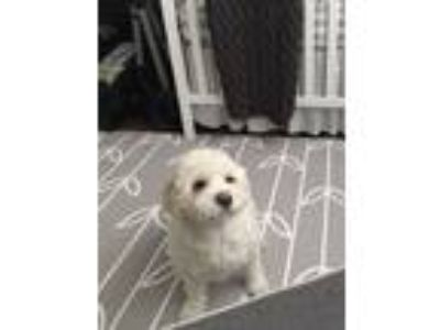 Adopt Parker a White Poodle (Toy or Tea Cup) / Shih Tzu dog in Burlingame