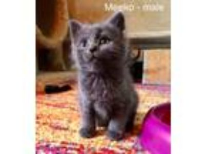 Adopt Meeko a Domestic Short Hair