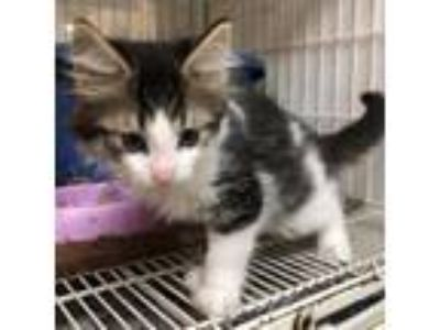Adopt Popsicle KITTEN SHOWER ATTENDEE a Domestic Long Hair