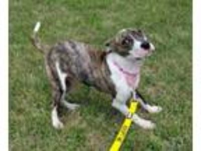 Adopt Rosalind a Pit Bull Terrier, Mixed Breed