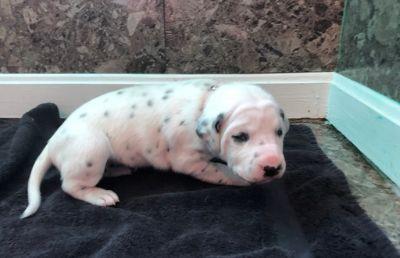Dalmatian PUPPY FOR SALE ADN-72960 - Purebred Dalmatian puppies