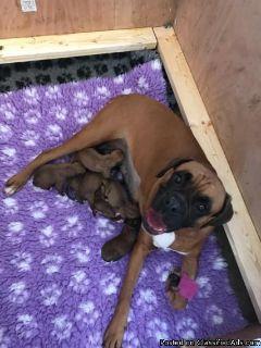 1 Male Rottweiler/Boxer Puppy