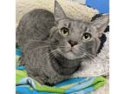 Adopt Phelix a Gray, Blue or Silver Tabby Domestic Shorthair (short coat) cat in