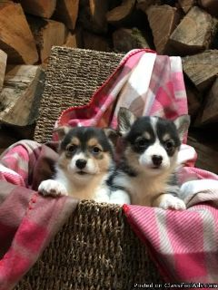 Gorgeous Pembrokeshire Corgi Puppies