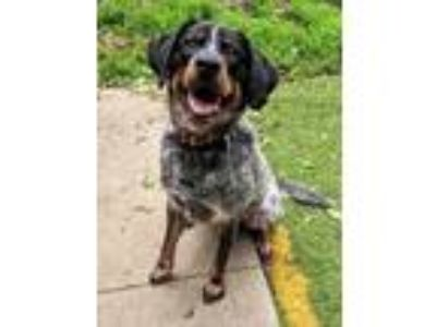 Adopt Moose a Cattle Dog / Great Pyrenees / Mixed dog in Johnston, IA (25313710)