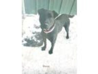 Adopt ROSE a Black Labrador Retriever / Mixed dog in Hibbing, MN (24610179)