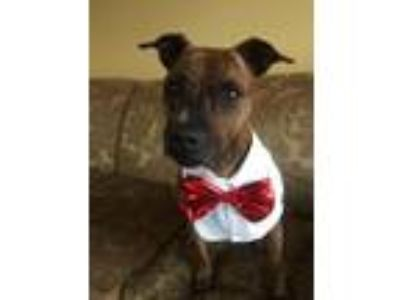 Adopt Emma a Brindle Terrier (Unknown Type, Medium) / American Staffordshire