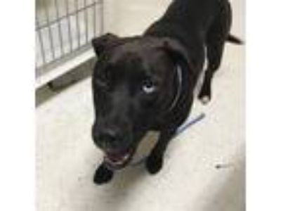 Adopt Matilda a American Pit Bull Terrier / Mixed dog in Jasper, AL (25932338)