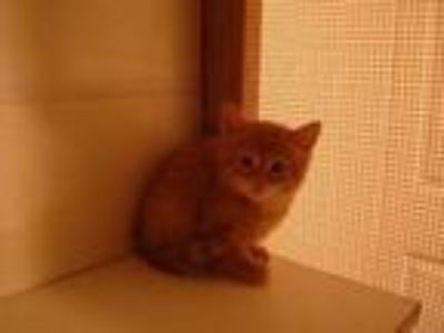 Adopt Mannie a Orange or Red Domestic Longhair / Mixed (long coat) cat in St.