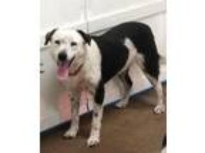 Adopt Polo a Border Collie, Cattle Dog