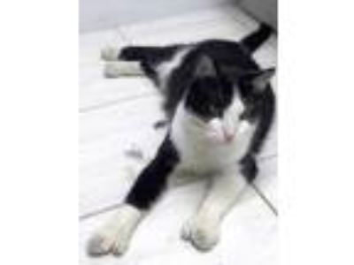 Adopt Jake a Black & White or Tuxedo Domestic Shorthair (short coat) cat in