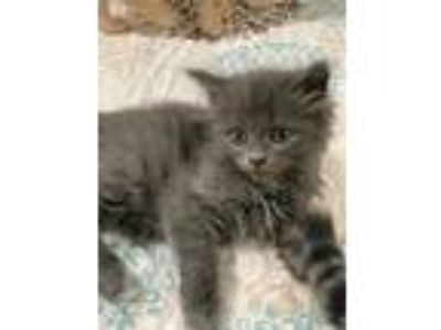 Adopt Chantilly a Gray or Blue Domestic Shorthair (medium coat) cat in