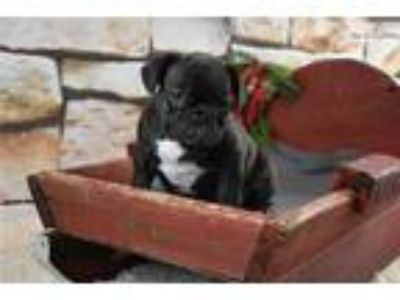 AKC Brindle Male French Bulldog Sam