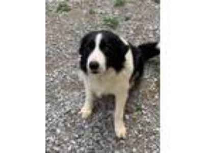 Adopt SHILOH - very sweet a Border Collie