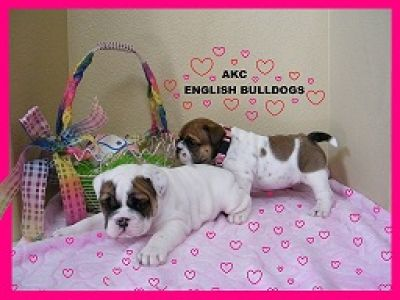 Top-Quality Akc English Bulldog Puppie's contact