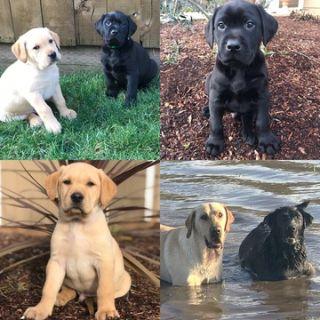 Labrador Retriever PUPPY FOR SALE ADN-113163 - Labrador Puppies