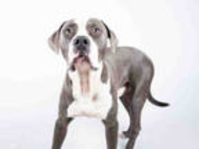 Adopt BENJI a Gray/Silver/Salt & Pepper - with White American Pit Bull Terrier /