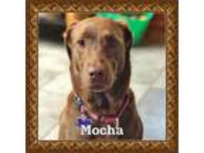Adopt Mocha Latte a Labrador Retriever