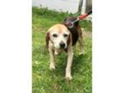 Adopt Noodle a Tan/Yellow/Fawn Beagle / Mixed dog in Fairfax Station