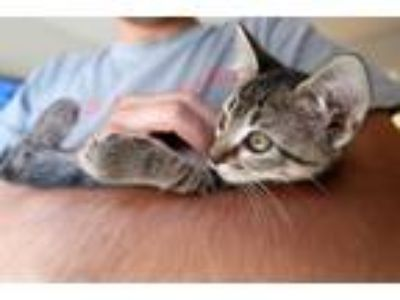 Adopt Girl Cat a Gray, Blue or Silver Tabby Domestic Shorthair / Mixed cat in