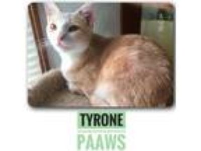 Adopt Tyrone a Orange or Red Domestic Shorthair / Domestic Shorthair / Mixed cat