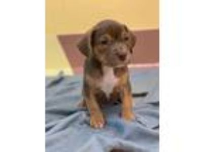 Adopt Zorro a Brown/Chocolate Terrier (Unknown Type, Small) / Mixed dog in