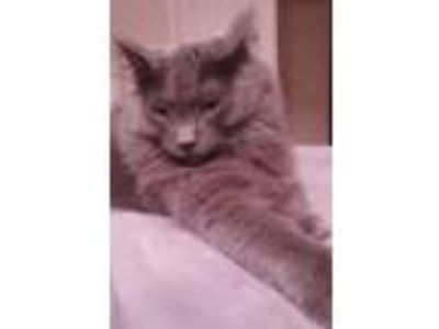Adopt Courtney a Gray or Blue Domestic Mediumhair (medium coat) cat in North