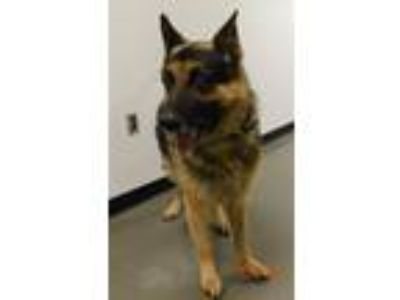 Adopt Pen 145 Smokey a German Shepherd Dog