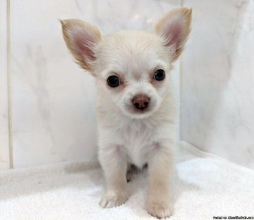 Pedigree Female Long Haired Chihuahua Puppy