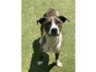Adopt Anna Beth a Catahoula Leopard Dog / Mixed dog in Birmingham, AL (25582927)