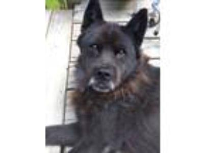 Adopt MAX a Black Chow Chow / Mixed dog in Durham, NC (23501914)