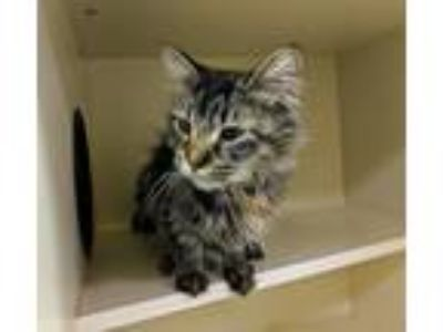 Adopt Petunia a Gray or Blue (Mostly) Domestic Shorthair (short coat) cat in
