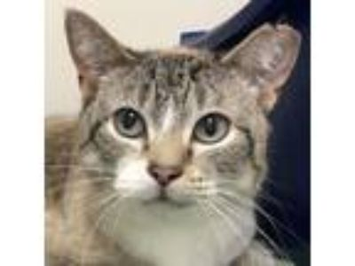 Adopt Lula a Oriental Short Hair, Domestic Short Hair