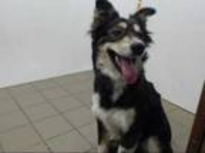 Adopt ROCKY a Tricolor (Tan/Brown & Black & White) Australian Shepherd / Mixed