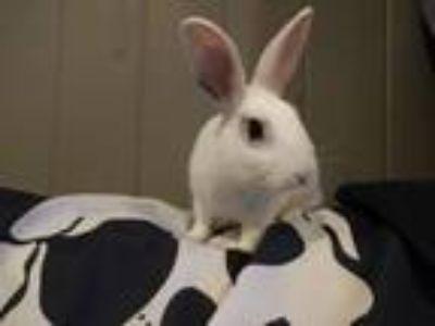 Adopt Jinx a Bunny Rabbit