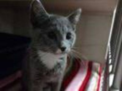 Adopt Rumi a Gray or Blue Domestic Shorthair / Domestic Shorthair / Mixed cat in