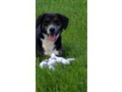 Adopt Sprout a Black - with White Border Collie / Mixed dog in Bakersville
