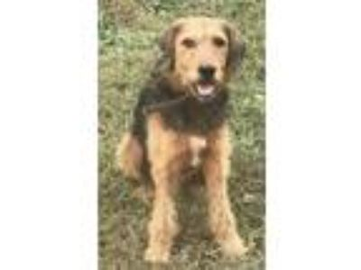 Adopt Maddox a Airedale Terrier / Mixed dog in Washington, DC (25319715)