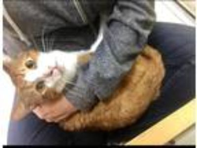 Adopt Big Boy a Orange or Red Domestic Shorthair / Mixed (short coat) cat in