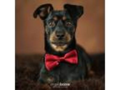 Adopt Spirit a Miniature Pinscher