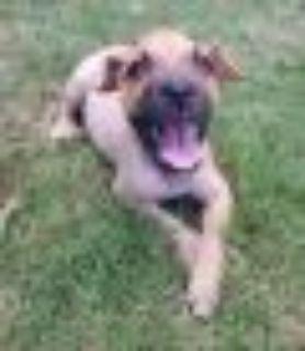 Alpha Boxer Dog